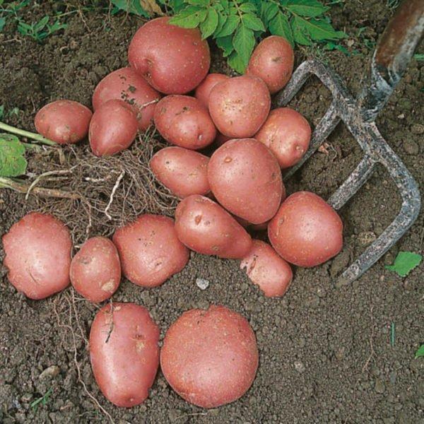 Organski Krompir Crveni