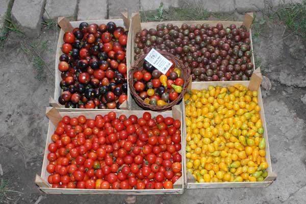 organski ceri paradajz bio salas idei