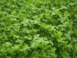 Organska Kres Salata 70g Bio Salaš Idei