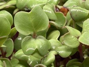 Organsko MikroBilje Rotkva Japanska Bio Salaš Idei 30g